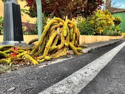 A big Cleistocactus winteri cactus plant grown near the asphalt road