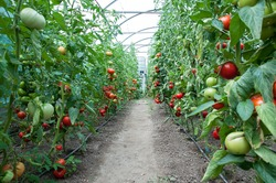 A big crop of organic tomatoes