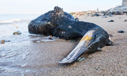 A big dead black cormorant sea bird washed up on a polluted beach, after an oil spill in the sea. Marine birds eating fish that have digested plastic, poisoning and killing marine wildlife.