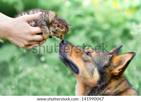 A big dog and a little kitten in female hands sniffing each other outdoor