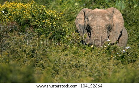 A big elephant bull making his way through some thick green bushes.Took this lanscape portrait while on safari in Addo elephant national park,eastern cape,south africa