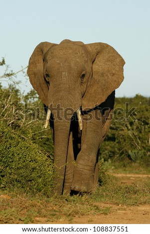 A big elephant bull walks straight towards the camera in this front profile portrait taken in Addo elephant national park, eastern cape, south africa