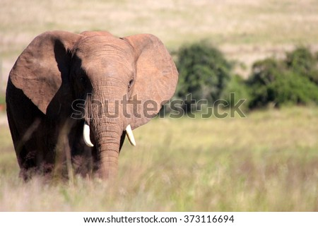 A big elephant bull walks through an open grassland in this image.