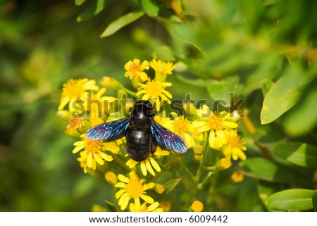 A big European carpenter bee (Xylocopa violacea) pollinating flowers. Sharp photo.