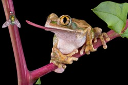 A big-eyed tree frog is trying to catch a fly with his tongue.