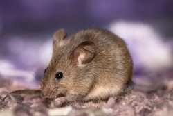 A big fat mouse with a long tail eats grain is on beautiful background. A gray rodent holds a seed in its paws. Wild animal in habitat close up. Harvest in autumn. Thanksgiving day rat