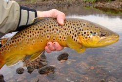 A big fish, Brown Trout, caught fly fishing and about to be released into the river