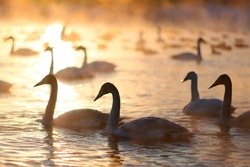 A big group of wild swans swimming in a winter lake on a sunset and some ducks on a background. Siberia, Russia.