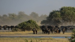 A big herd of African Buffalo (Syncerus caffer) approaching a waterhole to drink. The waterhole is in the foreground of the picture with the buffalo behind it. Dust are visible.