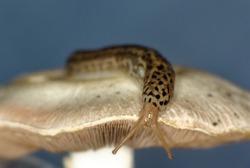 A big leopard slug crawling on a mushroom (Limax maximus, Family Limacidae)