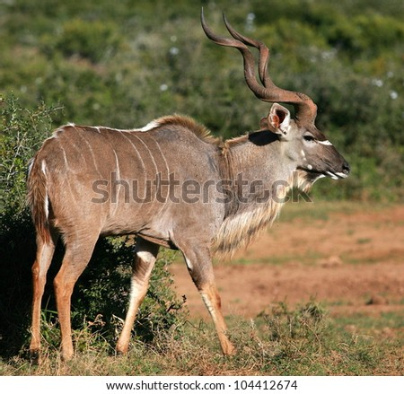 A big male kudu bull antelope shows off his big horns in this side on photo taken in Addo elephant national park,eastern cape,south africa