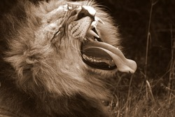 A big male lion yawns and shows off his large teeth. South AFrica