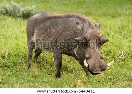 A big male or boar warthog with large tusks