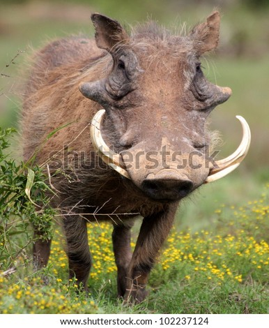 A big male warthog with huge tusks stands head on in this portrait from Addo national elephant par,eastern cape,south africa #102237124
