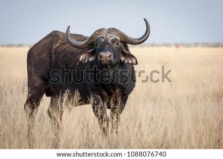 A Big old Cape Buffalo Dagga Bull ( Syncerus caffer) on a open grass plain