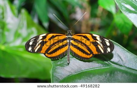 stock-photo-a-big-orange-monarch-butterfly-sitting-on-the-leaf-49168282.jpg