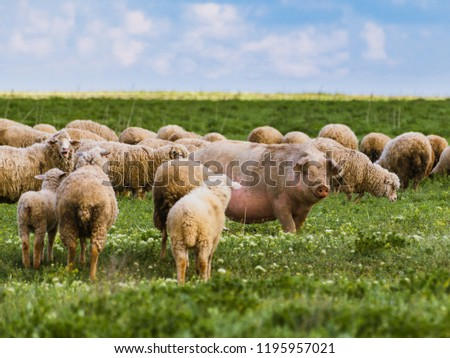 A big pig among sheep. A herd of dissimilar animals. Exclusivity concept