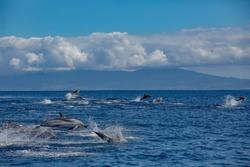 A big pod of striped dolphins (Stenella coeruleoalba) following their way in open water of Atlantic ocean near Azores islands