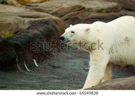 A big polar bear walking around on a large rock formation