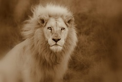 A big pure white male lion in this abstract sepia selective focus photo taken on safari in Africa.