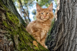 A big red maine coon kitten sitting on a tree in a forest in summer.