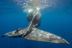 A big sperm whale tale with remoras on it, underwater shot. Mauritius, indian ocean.