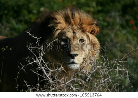 A big tawny male lion stares through an acacia tree,in this beautifull side profile  head portrait taken in Addo Elephant national park,eastern cape,south africa