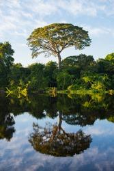 A big tropical tree amidst the lush  Amazonian rainforest at the Guaporé - Itenez riverbank, Ricardo Franco, Vale do Guaporé Indigenous Land, Rondônia, Brazil, bordering Beni Department, Bolívia