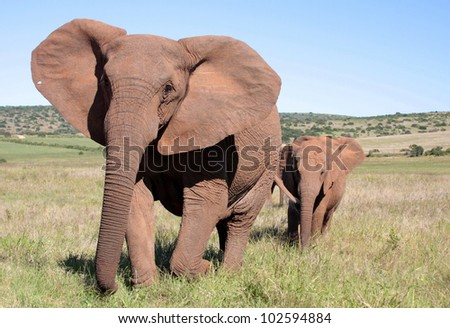 A big tuskless female elephant leading her calf in Addo elephant park,eastern cape,south africa.