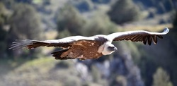 A big vulture flying on the natural park
