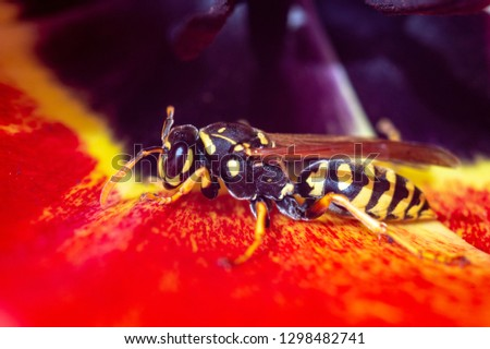 A big wasp sitting on a red tulip flower is a close-up macro picture.