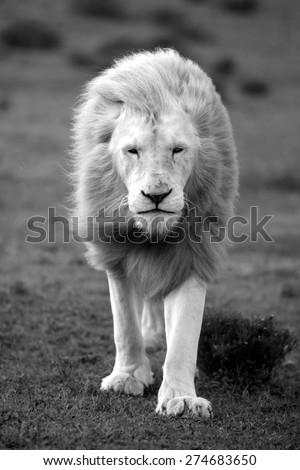 a big white lion walking