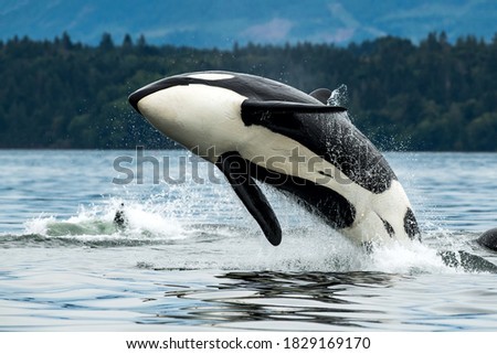 A Bigg's orca whale jumping out of the sea in Vancouver Island, Canada