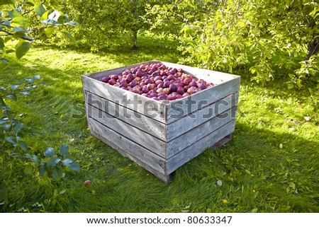 A bin of freshly picked apples in an orchard in early morning.