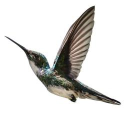 a bird flies, with a white background