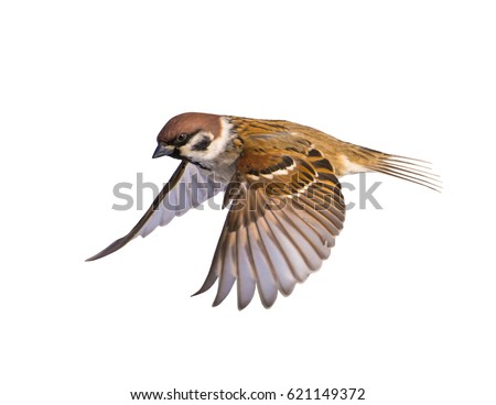 A bird flying a sparrow on a white background.
