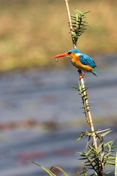 A bird have catch the little fish, Botswana