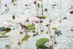 A bird heron sitting in the water is all around and the leaves and lotus flowers