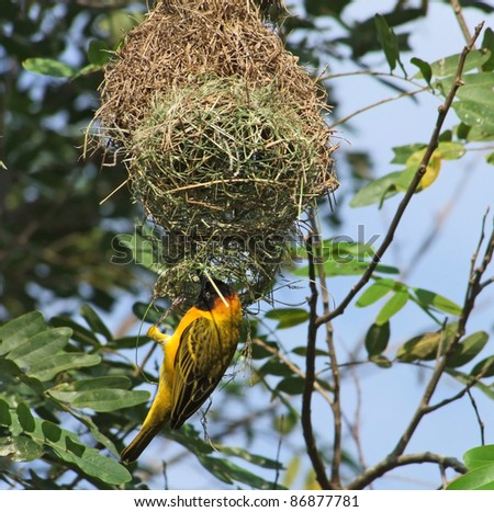 "a bird named ""Weaver Bird"" building on its nest in Uganda (Africa) - stock photo"