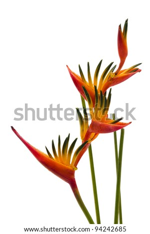 A Bird of Paradise flower, isolated on white background