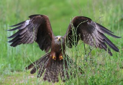 A bird of prey, a black kite attacks its prey, flying low over the meadow and preparing its claws for capture.