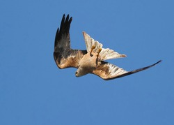 A bird of prey, a black kite in flight turned upside down to select the best angle for a strike on prey.