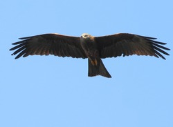 A bird of prey a black kite soars in the blue sky, looking for prey.