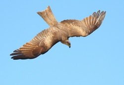 A bird of prey in the blue sky dives to the ground, noticing prey, top view, close-up.