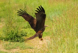 A bird of prey takes off from the grass after a failed attack on prey.