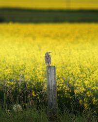 A bird on a fence post over a Canola field on the Alberta Prairies