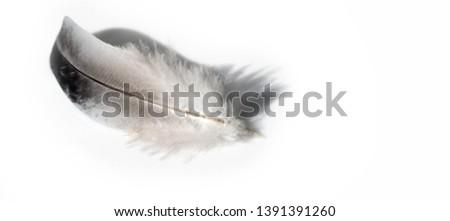 A bird's feather  pen, feather, nib, plume, blade, style #1391391260