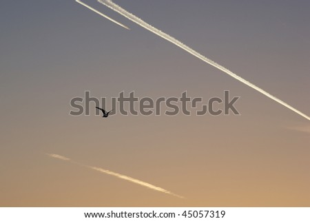 A bird silhouetted against the sky with aeroplane vapour trails
