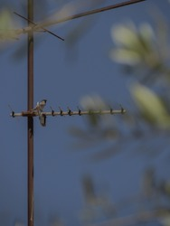 A bird sitting on the old rusty antenna and blurry olive tree leaves