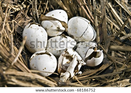 A birds nest with 7 eggs in it, 5 are cracked.